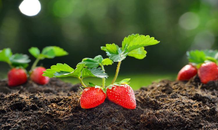 Voici comment obtenir facilement 50 plants de fraises sans même sortir un sou de votre poche!